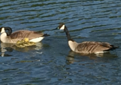 First Goslings of the year